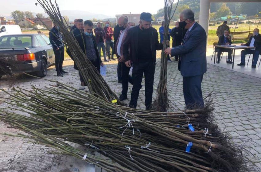 Drejtoria e Bujqësisë, ka ndarë 4100 fidane të arrës për 51 fermerë