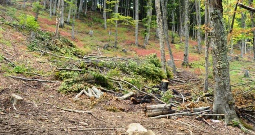 Mungojnë të pandehurit dhe dëshmitarët, dështon të mbahet seanca për vjedhje pylli në Suharekë